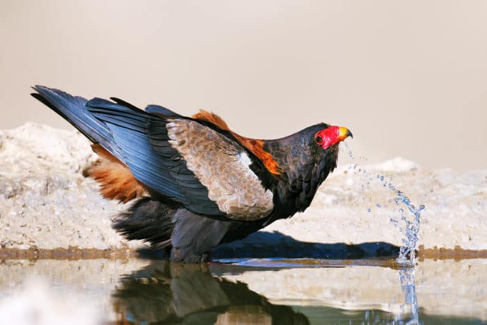 Bateleur eagle drinking from a local waterhole, Kalahari
