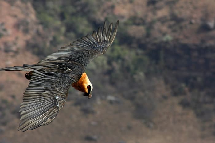 Bearded vulture flying over Giant's Castle mountain peak region in South Africa