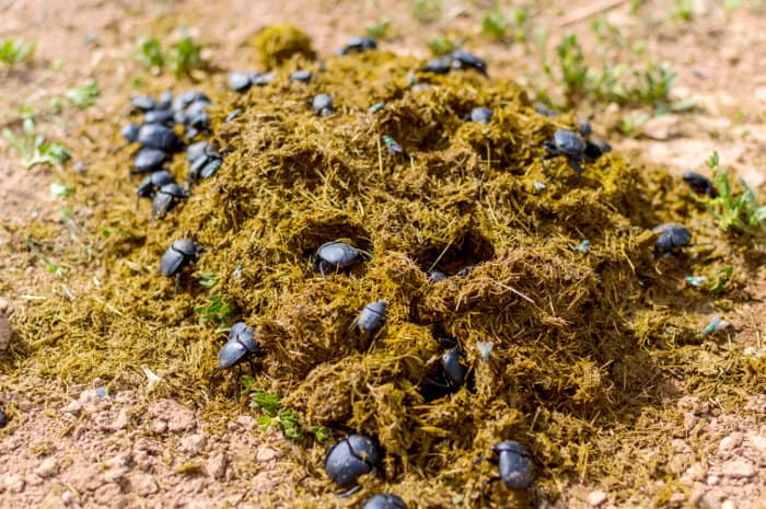 Beetles busy working in pile of dung