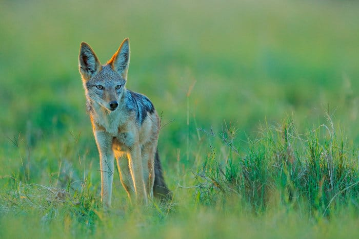 Black-backed jackal in early evening sunlight