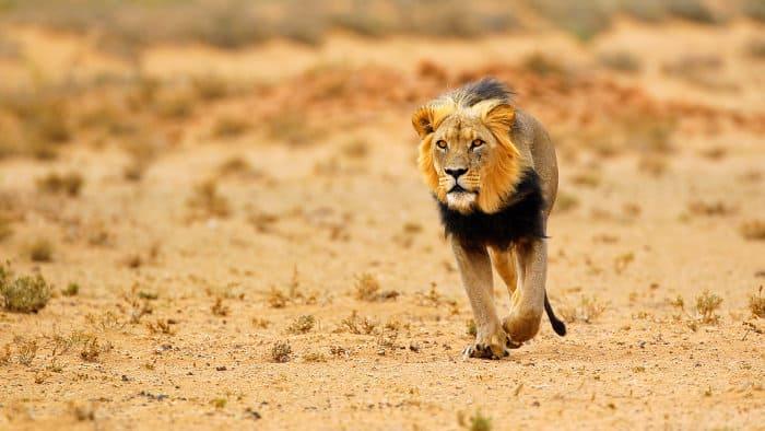 Black-maned lion walking in the Kalahari