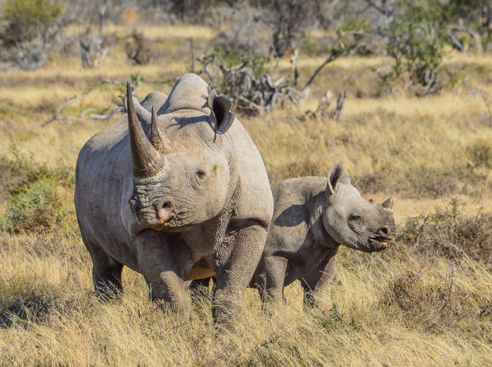 Mom black rhino with calf