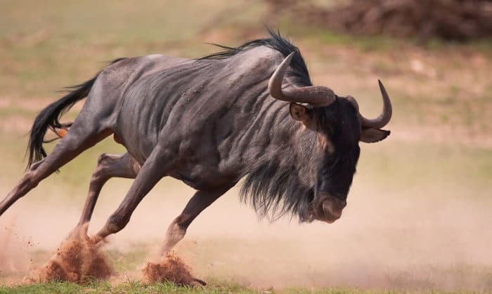 Blue wildebeest running at full speed