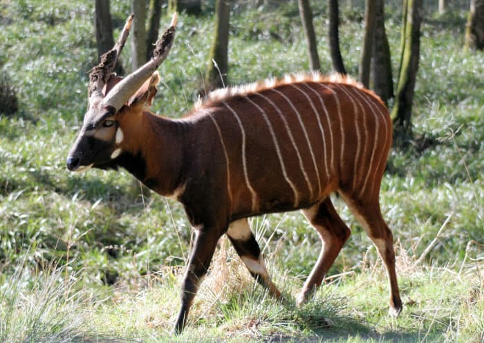 Male bongo antelope walking in a forest area