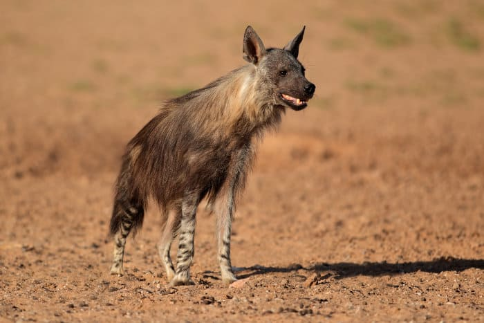 Alert brown hyena in the Kalahari desert
