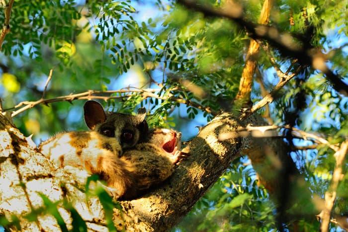 Bushbabies sleeping in a tree in broad daylight, Marakele National Park
