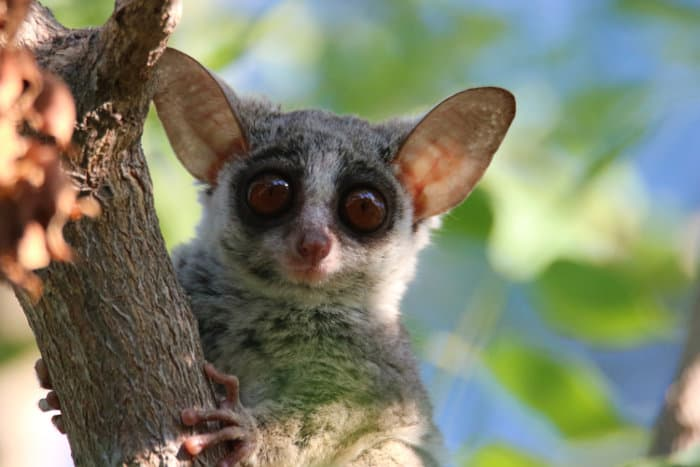 The bushbaby has big round eyes and incredible ears, not dissimilar to bat-eared foxes