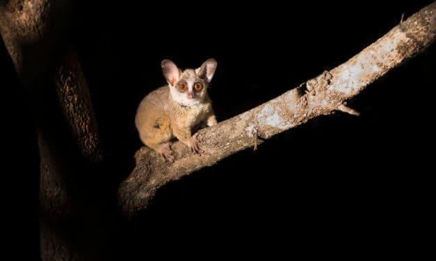 Bushbaby – The heard but rarely seen baby of the bush