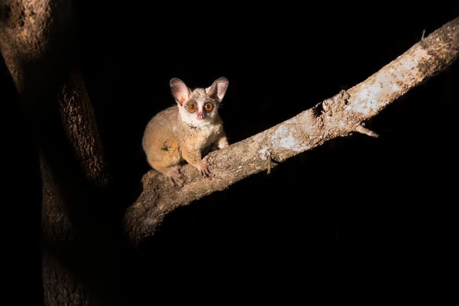 Bushbaby – The heard but rarely seen baby of the bush