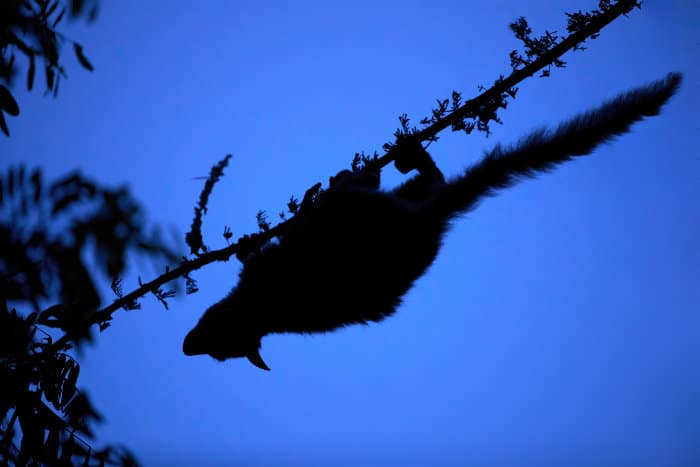 Garnett's greater galago silhouette in the heart of the African bush