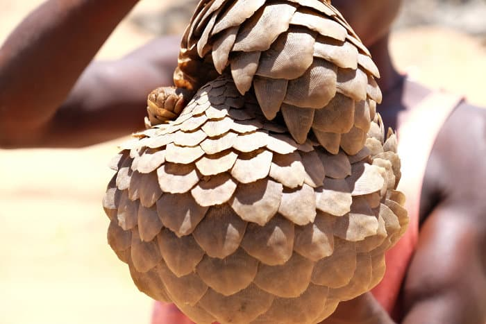 Captured pangolin being sold as bush meat in Africa