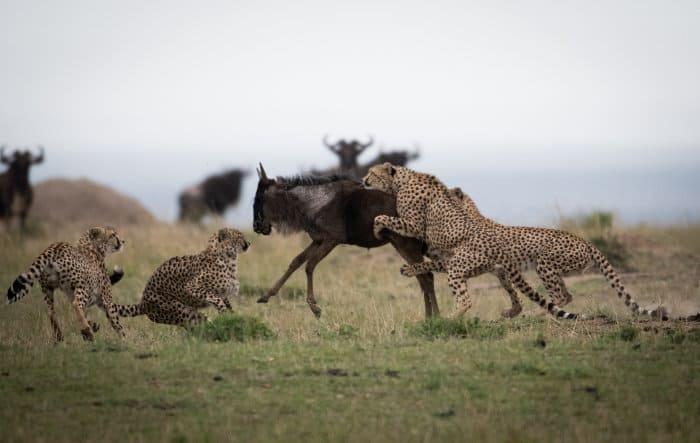 A coalition of cheetah tries to take down a wildebeest in the Masai Mara
