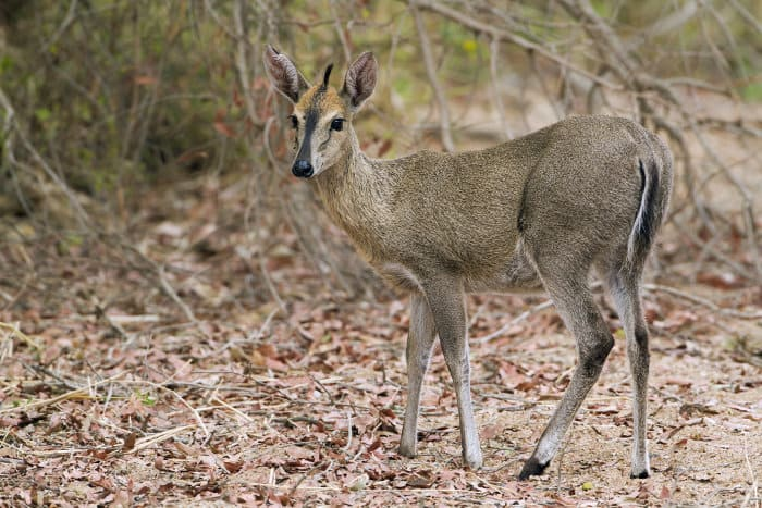 Female common duiker in Kruger National Park