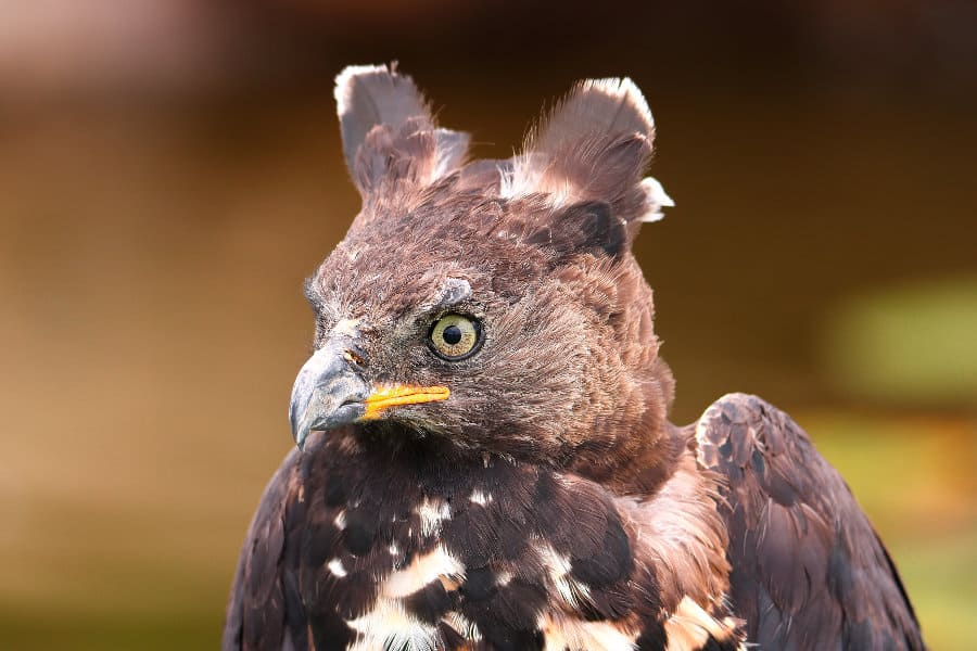 Crowned Eagle – Discover Africa's most powerful eagle