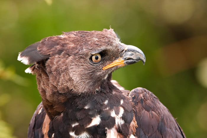 African crowned eagle portrait, displaying beak and facial colours