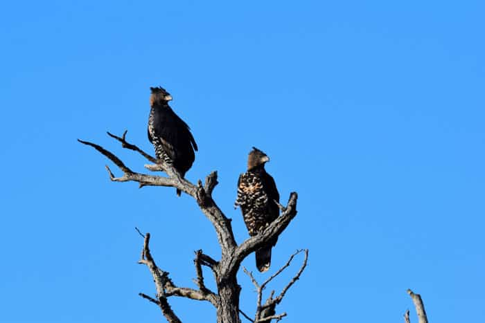 Pair of crowned eagles looking to the left from their perch, on a dead tree