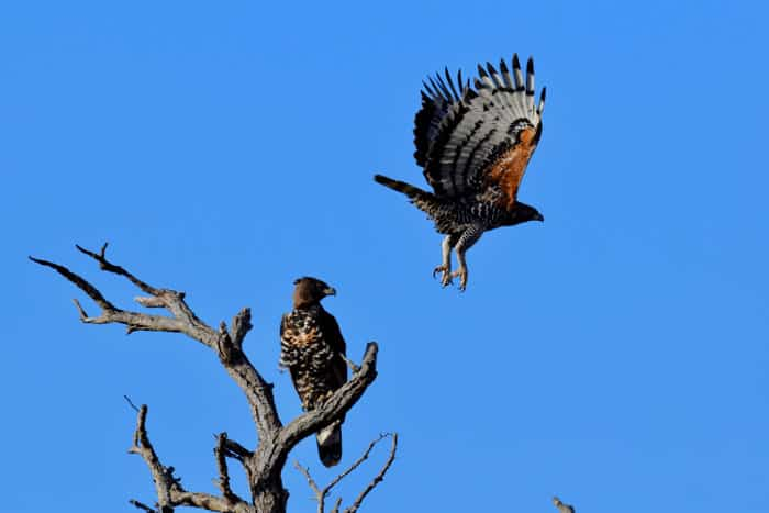 One crowned eagle perched in a tree, while the other one takes off in search of prey