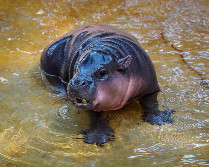 Pygmy Hippo – 16 Astonishing Facts About a Little Cousin