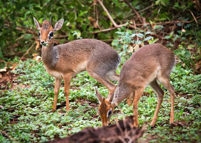 Pair of dik-dik in Lake Manyara National Park