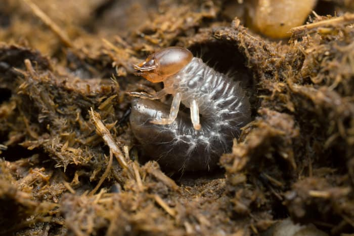 Dung beetle larva in cow dung
