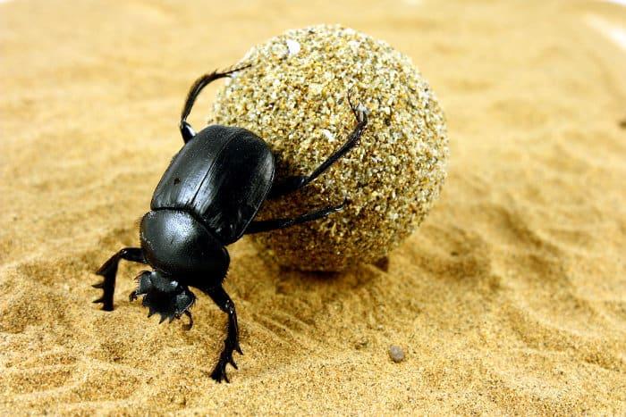 Dung beetle pushing its ball