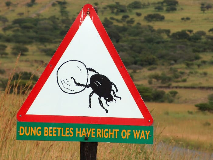 Dung beetles have right of way
