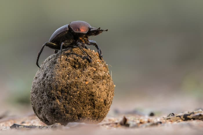 Dung beetle on top of its ball, possibly to impress the ladies