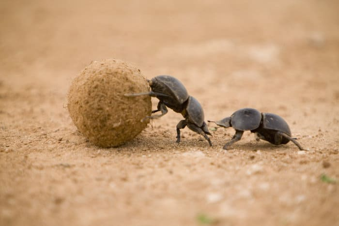 While one dung beetle pushes the dung ball, the other one follows