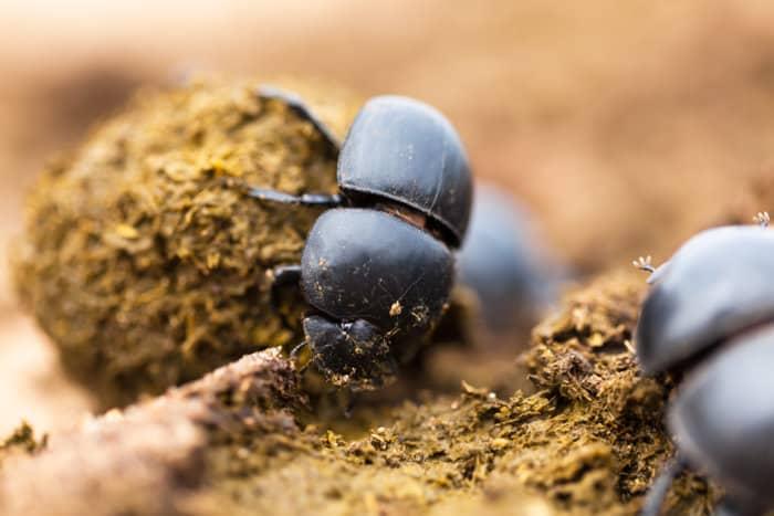 Three dung beetles making their balls
