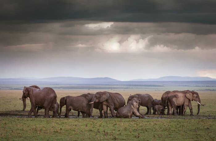 Elephant family enjoys a mud bath in the Masai Mara