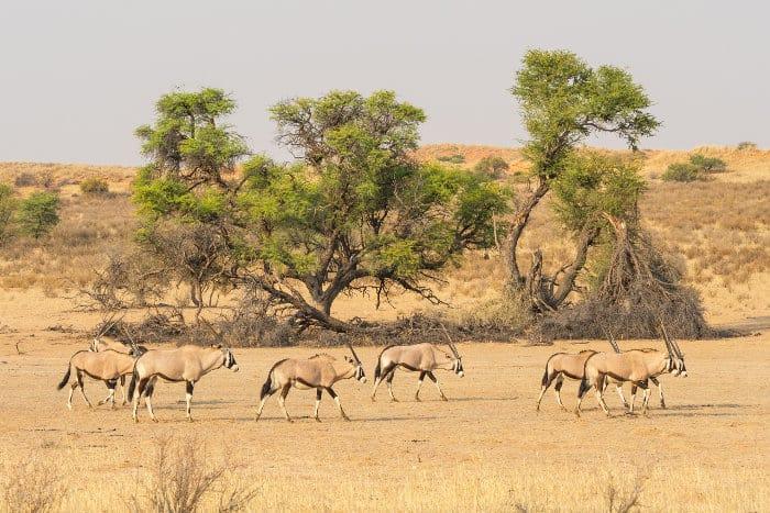 Herd of gemsbok walking in the dry Auob river bed, Kgalagadi