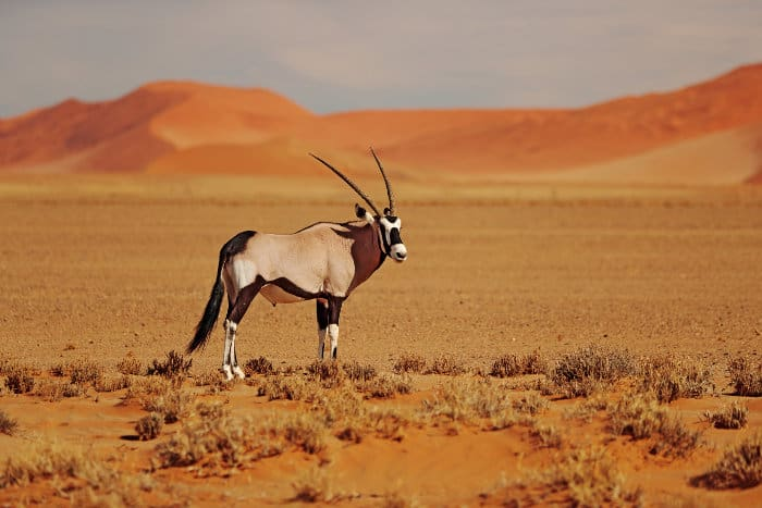 Gemsbok with orange sand dune in the background, photographed in Namibia