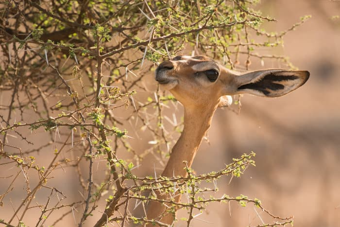 Just like a giraffe, the gerenuk uses its long neck to reach higher leaves in a tree