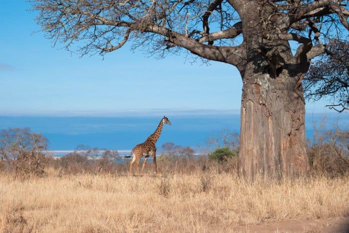 Lone giraffe standing near a baobab in Tarangire