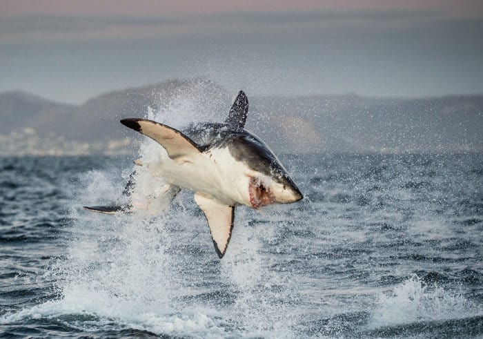 Great white shark breaching, off the coast of South Africa