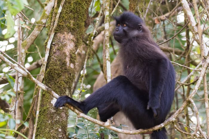 Grey-cheeked mangabey in Kibale forest