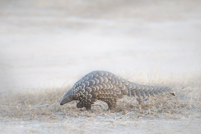 Ground pangolin during day time