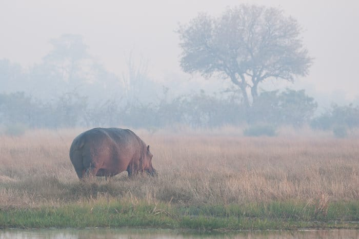 Hippo in early morning fog in Moremi