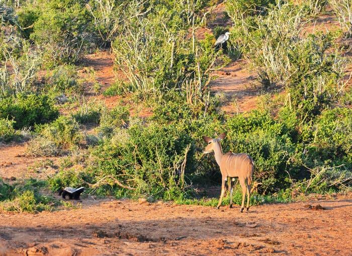 La femmina di kudu incontra il tasso del miele, che non sembra contento