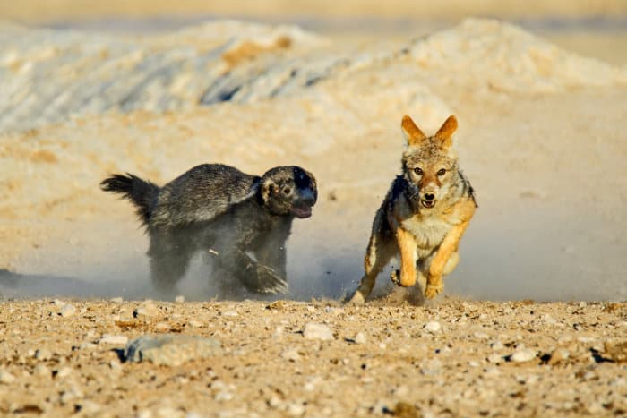 Fearless honey badger chases a black-backed jackal in Etosha