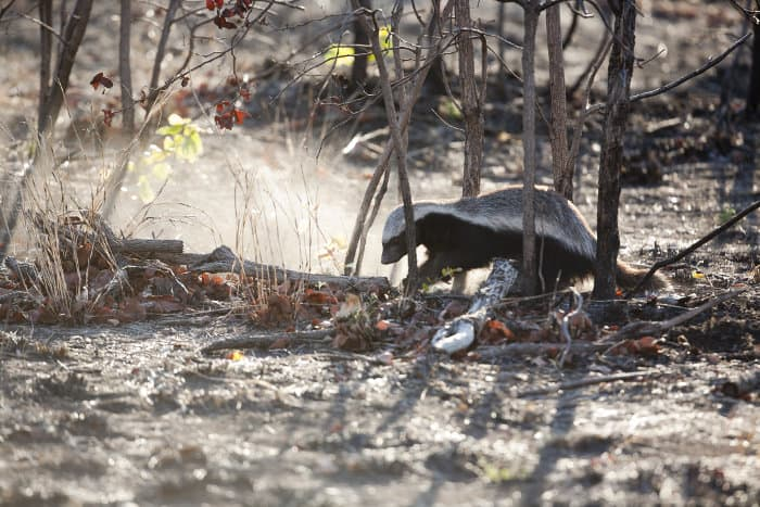 Ratel digging in a burnt field