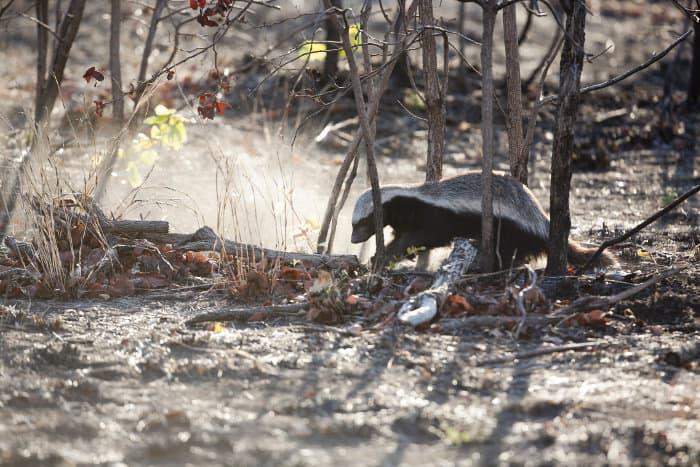 Ratel scava in un campo bruciato