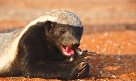 21 fun facts about honey badgers