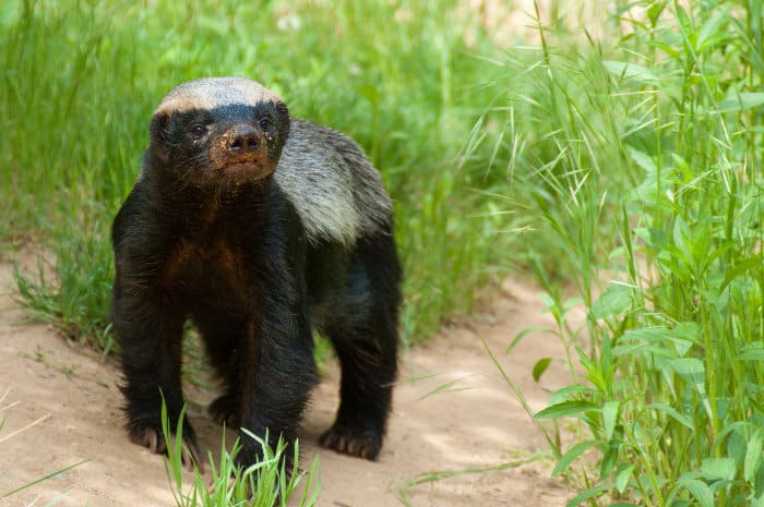 The honey badger almost looks like a large weasel