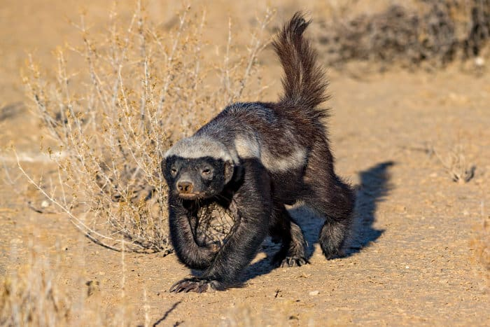 Honey badger on the move, with its tail sticking up