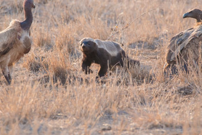 Honey badger encounters vultures in the Kruger