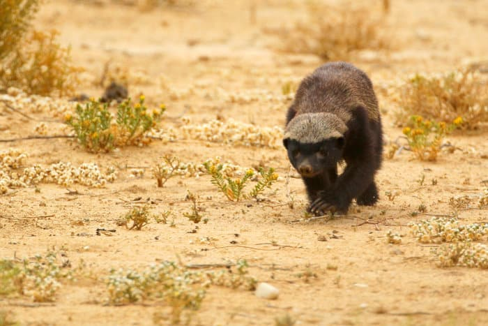 While honey badgers are usually solitary animals, youngsters may stay at home until they are bigger than their mothers