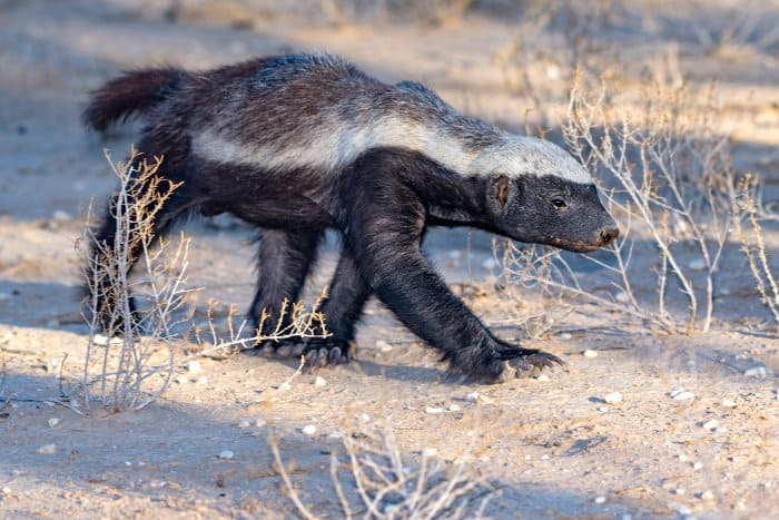 Despite their name, honey badgers are not actually badgers