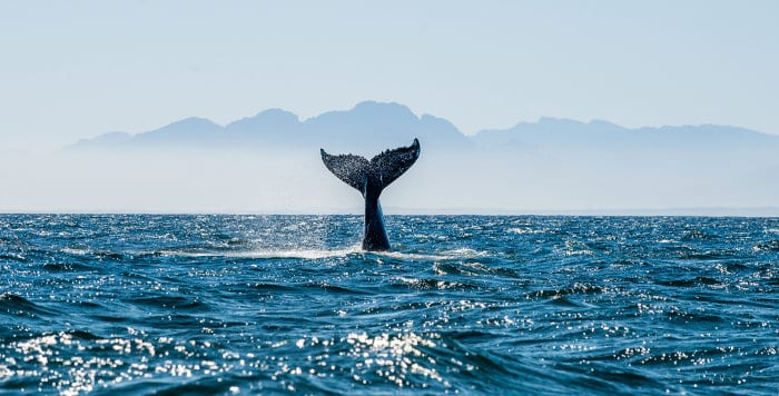 Tail of a humpback whale sticking out of the ocean, just off the coast of False Bay