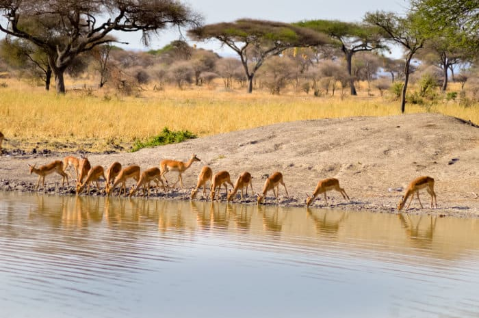 Impala quenching their thirst from a nearby waterhole in Tanzania